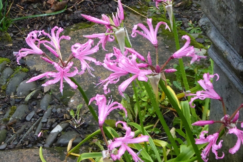 nerines cluster