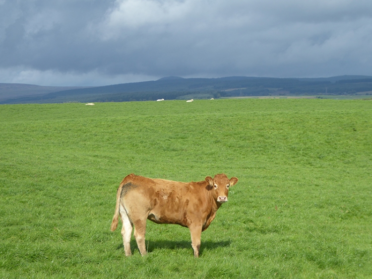 outstanding cow