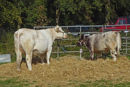 pair of cows at show