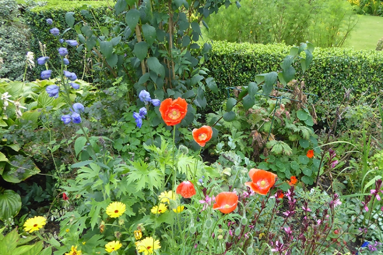poppies in new bed