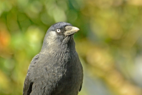 puzzled jackdaw