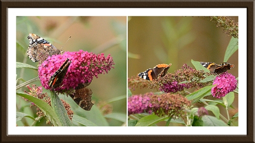 red admiral butterfly groups on buddleia