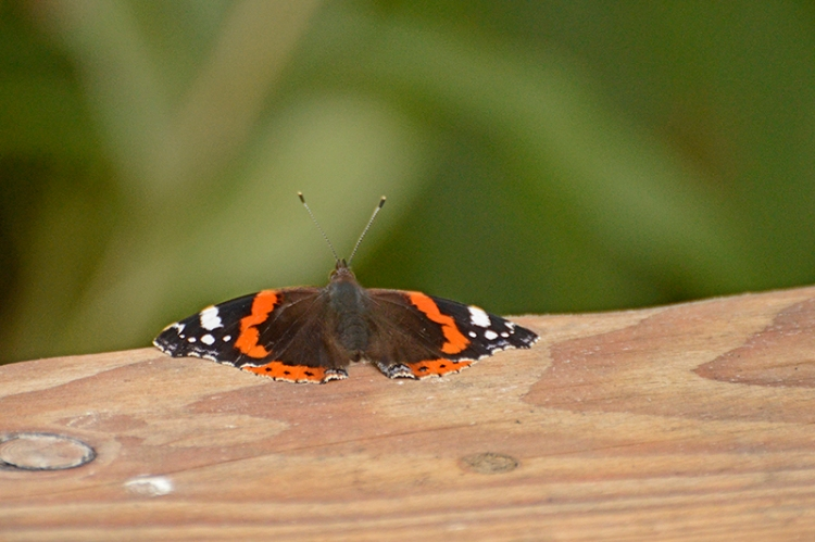 red admiral butterfly on bench