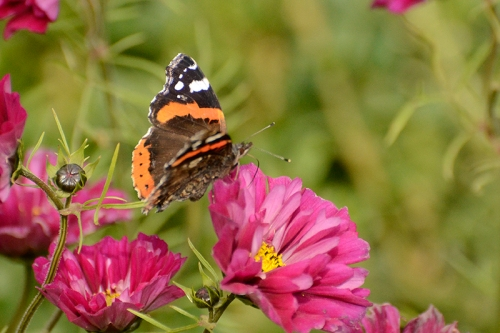 red admiral butterfly on cosmos