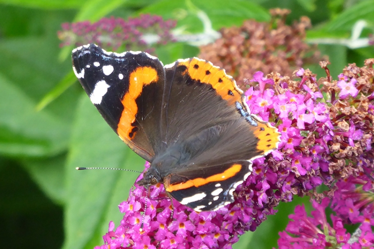 red admiral on red buddleia