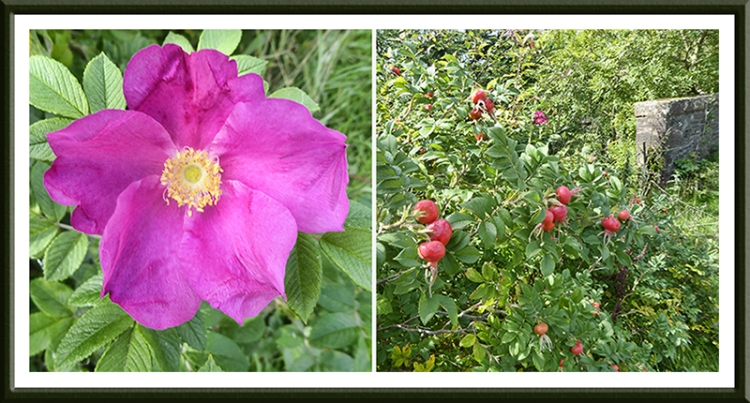rwild rose and hips