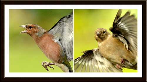 scary chaffinches