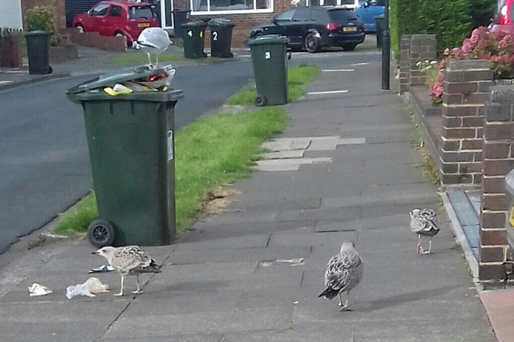 scavenging gulls