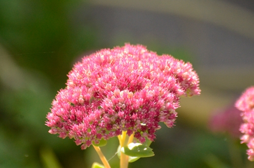 sedum with no bees