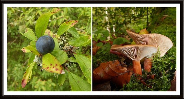 sloe and fungus