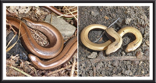 slow worms