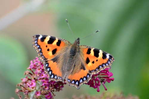 small tortoiseshell butterfly on red buddleia