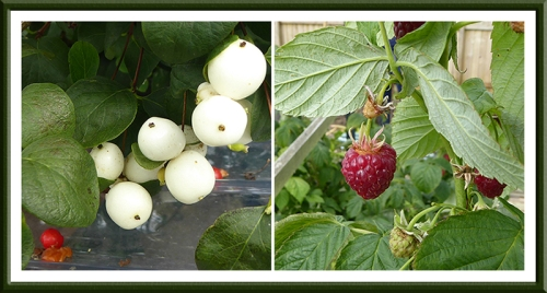 snowberry and raspberry