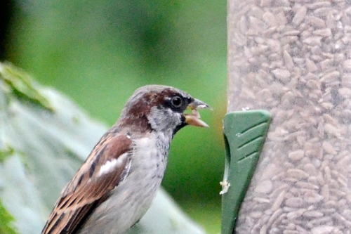 sparrow chewing
