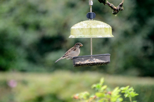 sparrow on elder feeder