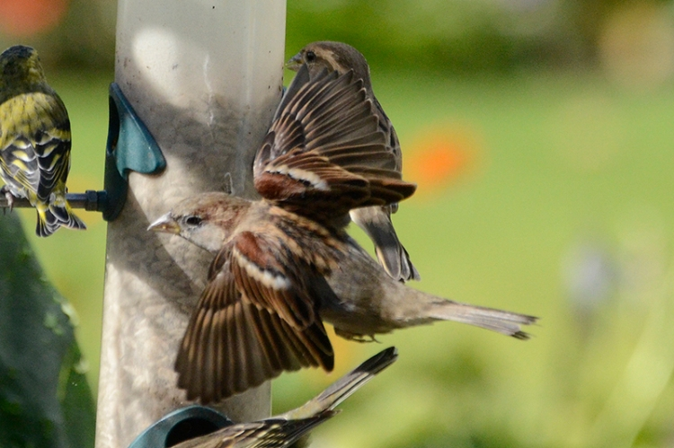 sparrow passing