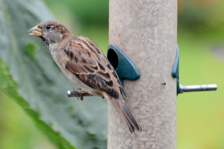 sparrow with sed
