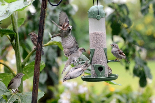 sparrows (2)