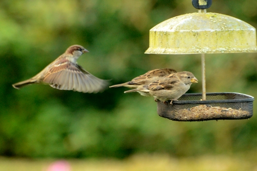 sparrows on elder feeder