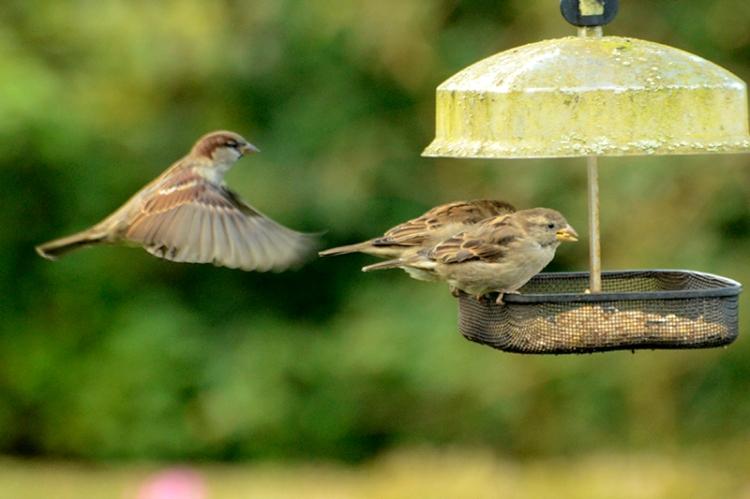 sparrows on elder feeder