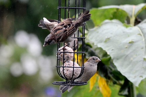 sparrows on fatballs