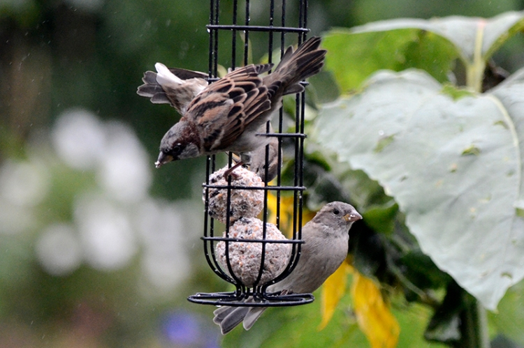 sparrows on fatballs