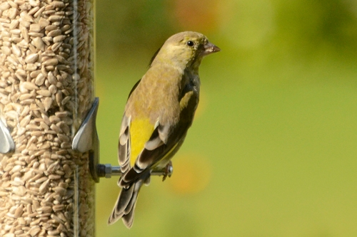 sunny greenfinch