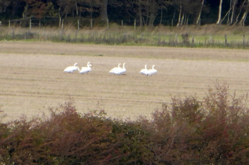 swans in field