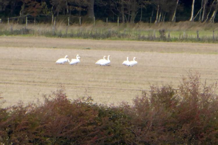 swans in field