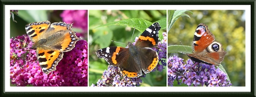 tortoiseshell, red admiral and peacock butterflies