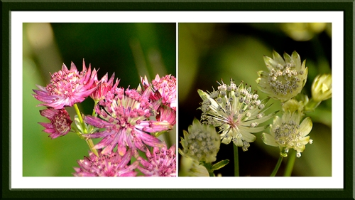 two astrantias