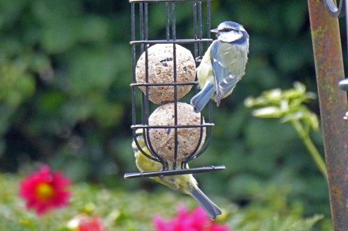 two bluetits on fat balls