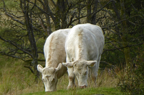 two cows eating