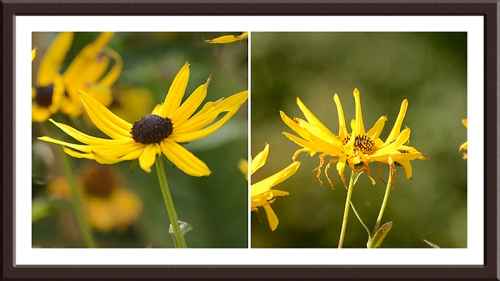 two rudbeckias