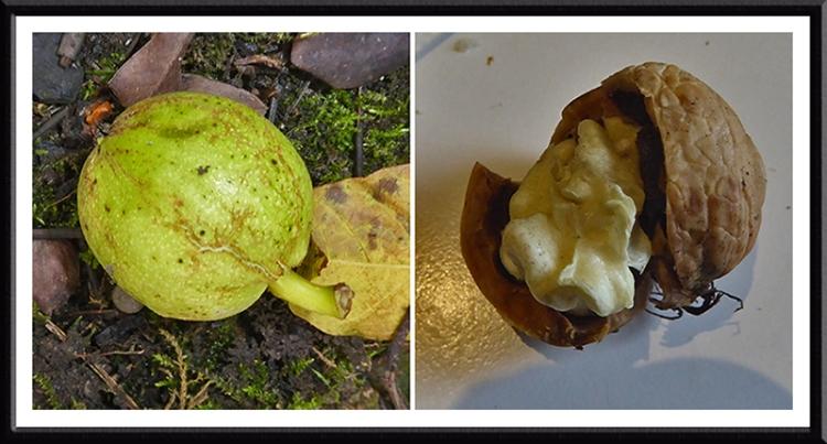 walnuts in the garden