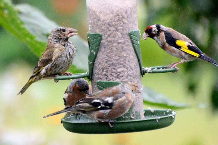 wet goldfinches and greenfinch 2