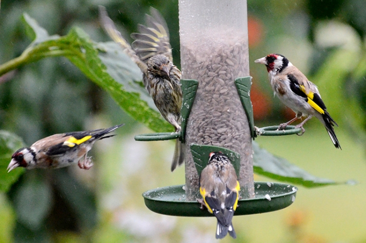 wet goldfinches and greenfinch