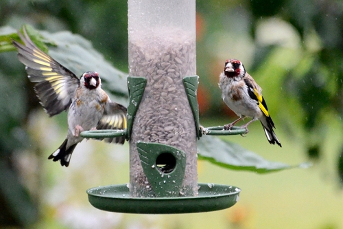 wet goldfinches waving