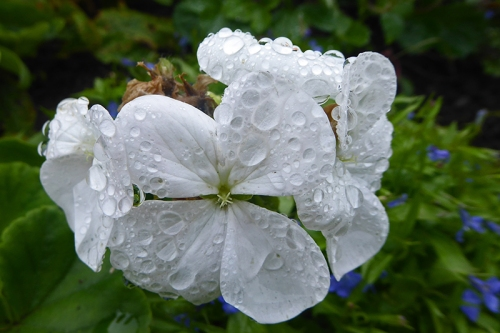 wet white geranium