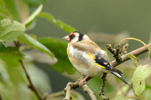 windy goldfinch in plum tree