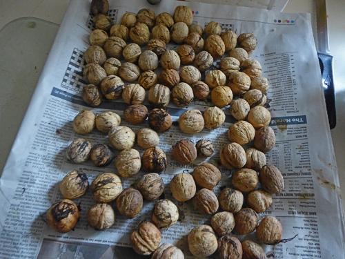 100 walnuts