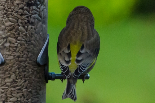 back of greenfinch