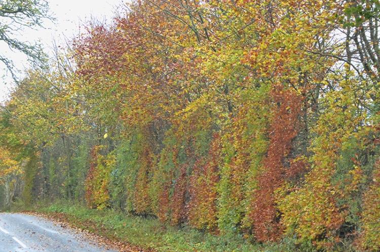 big beech hedge