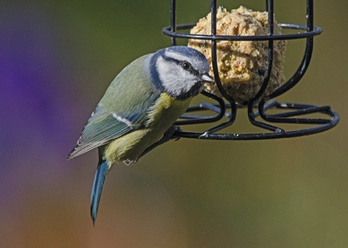 blue tit close up on fatballs