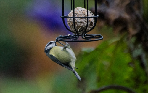 blue tit on fat balls oct (2)