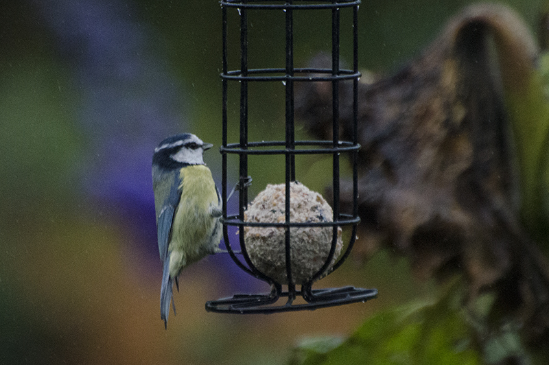 blue tit on fat balls oct