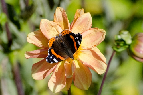 buttefly on yellow dahlia