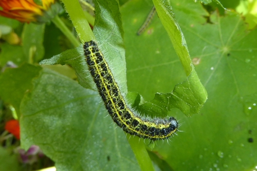 cabbage white caterpillar (2)
