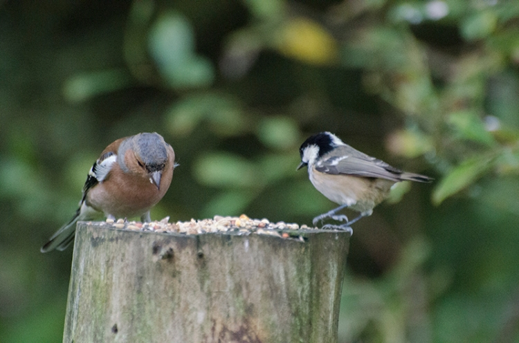 chaffinch and coal tit on stump