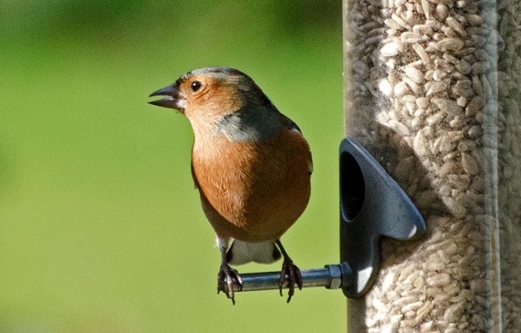 chaffinch in sun and shade